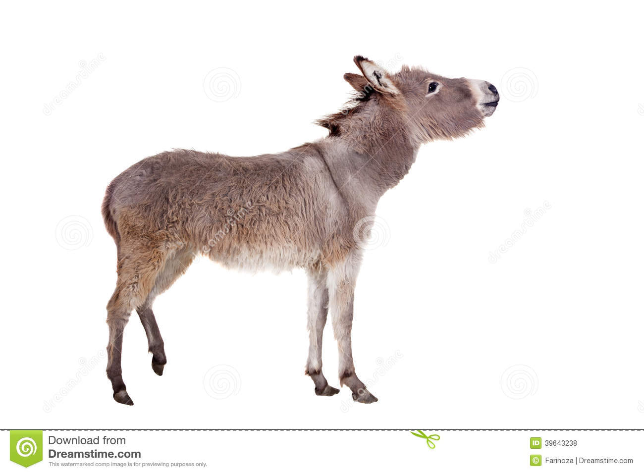 Cute Photos Hd Wallpaper Donkey On White Stock Photo Image Of Graze Mammal