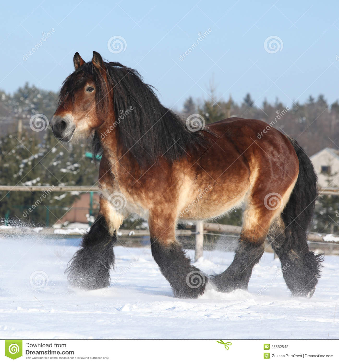 Dutch Dreams Dutch Draught Horse With Long Mane Running In Snow Stock