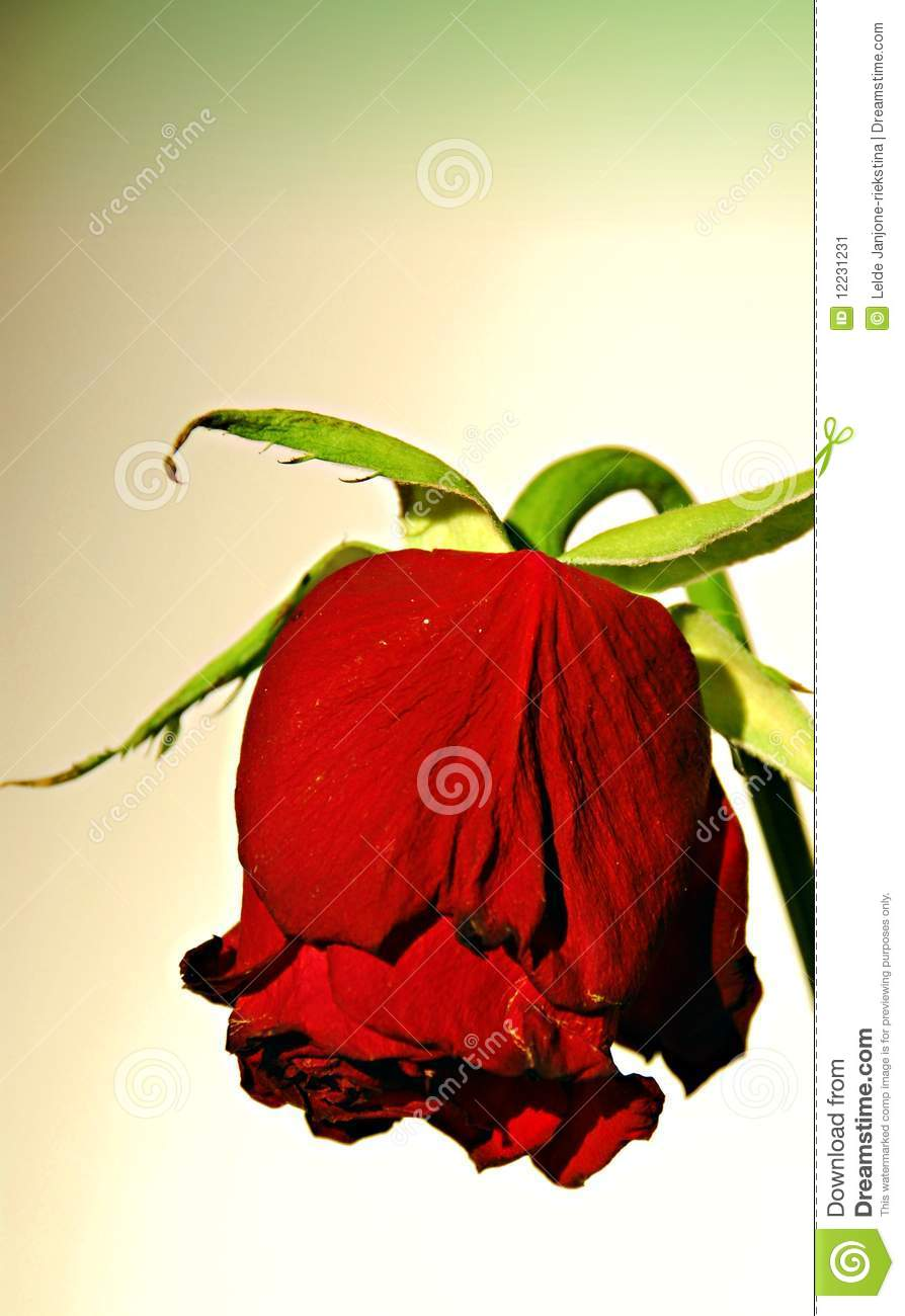 Falling Rose Petals Wallpaper Dying Rose Stock Image Image 12231231