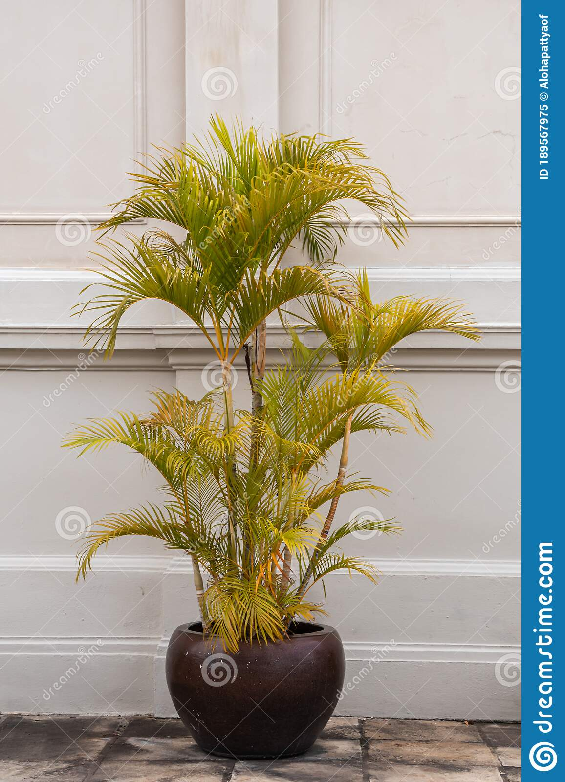 Dypsis Lutescens Plant In A Pot Common Name Golden Cane Palm Areca Palm Yellow Palm Or Butterfly Palm Stock Image Image Of Leaf Growth 189567975