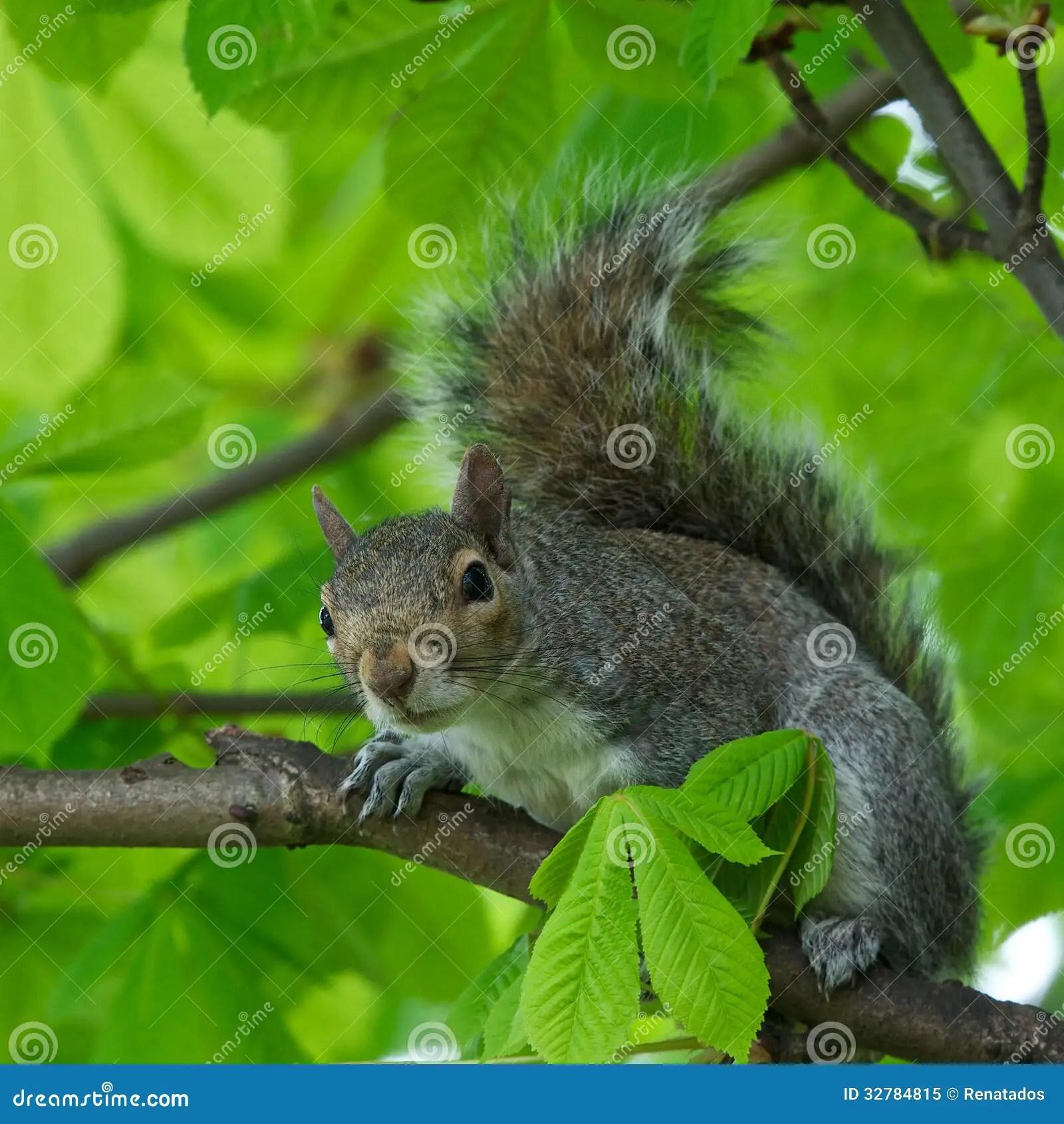 Grey Cute Wallpaper Eastern Gray Squirrel Sciurus Carolinensis In Natural