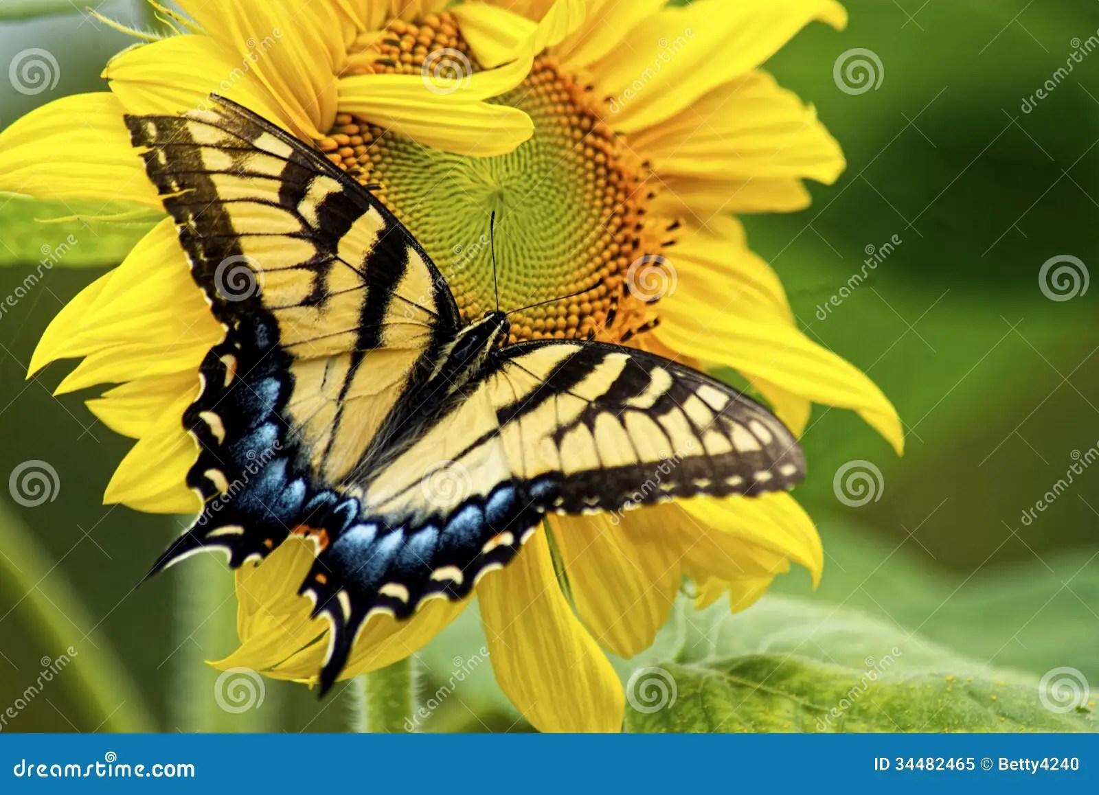 3d Sunflower Wallpaper Eastern Swallowtail Butterfly Works On A Yellow Sunflower