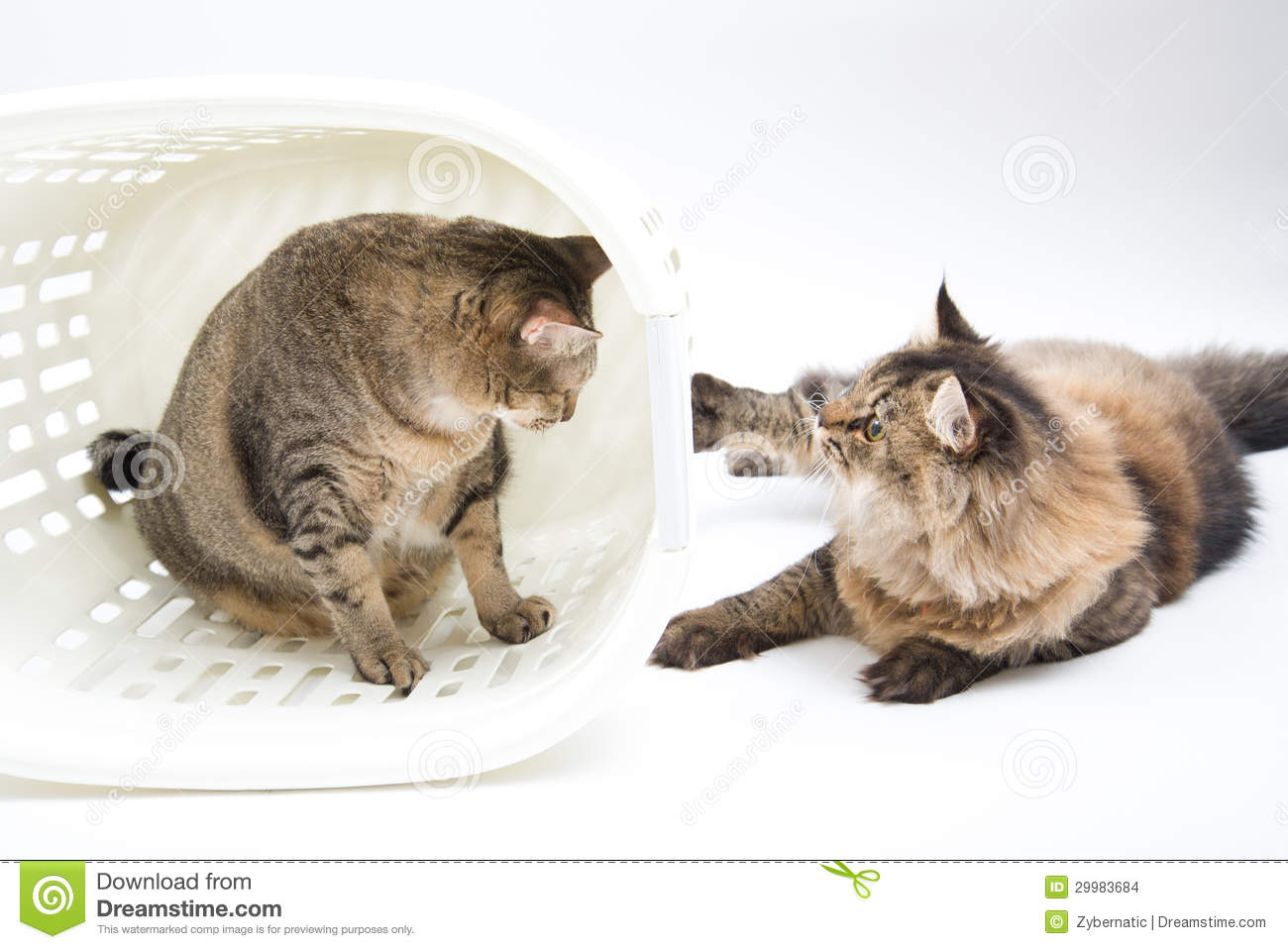 Comprar Gatos Siameses Gordo Gato Persa Related Keywords Gordo Gato Persa Long