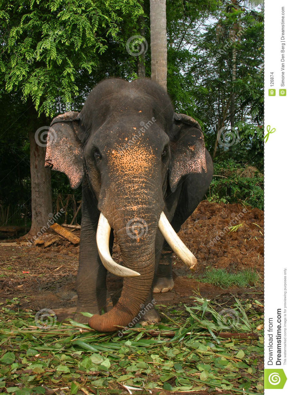Black Animal Print Wallpaper Elephant Sri Lanka Stock Images Image 126874