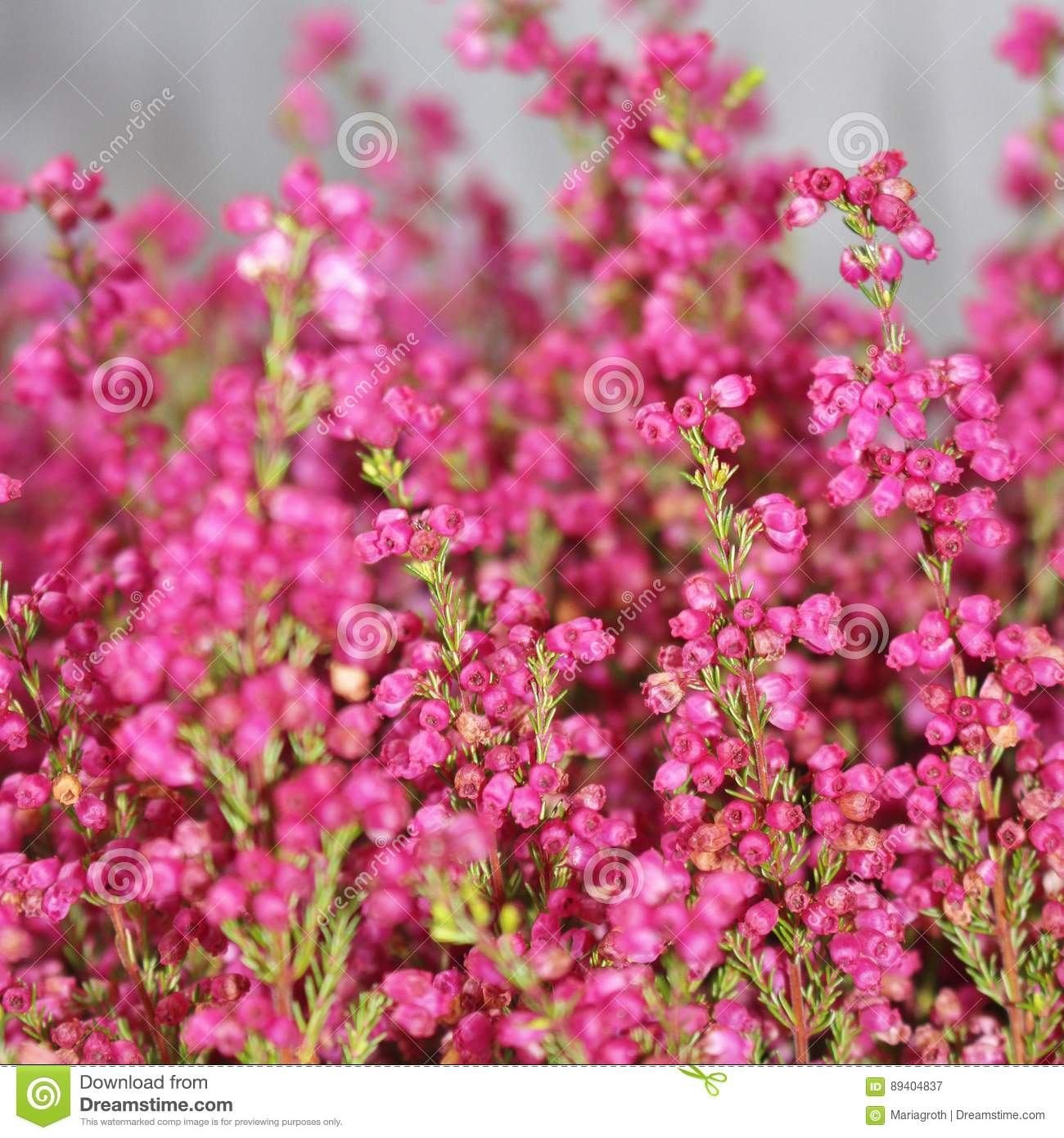 Erica Gracilis Erica Gracilis Stock Image Image Of Decorative Leaf 89404837