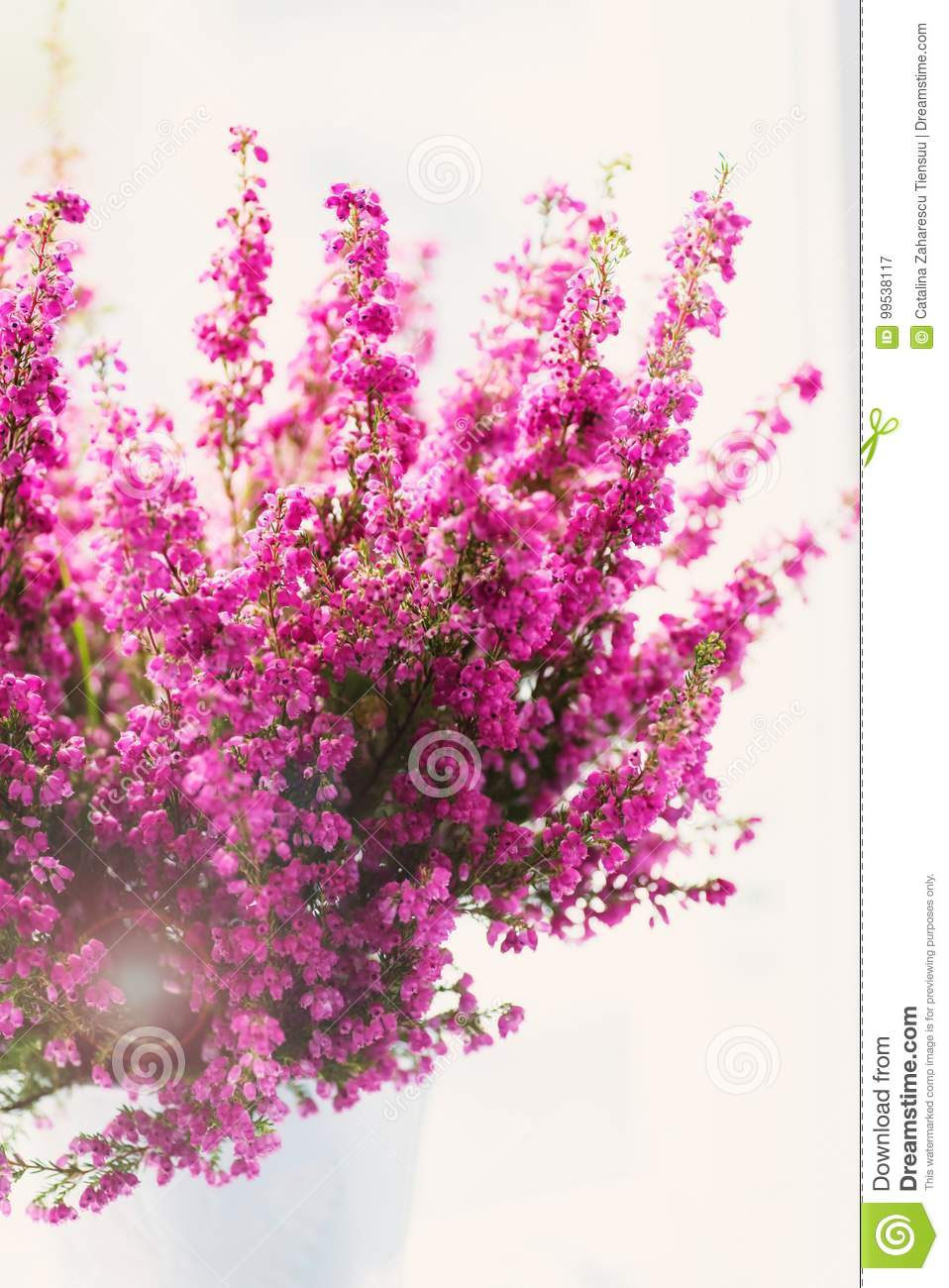 Erica Gracilis Erica Gracilis Winter Heather In Full Blossom Stock Image Image