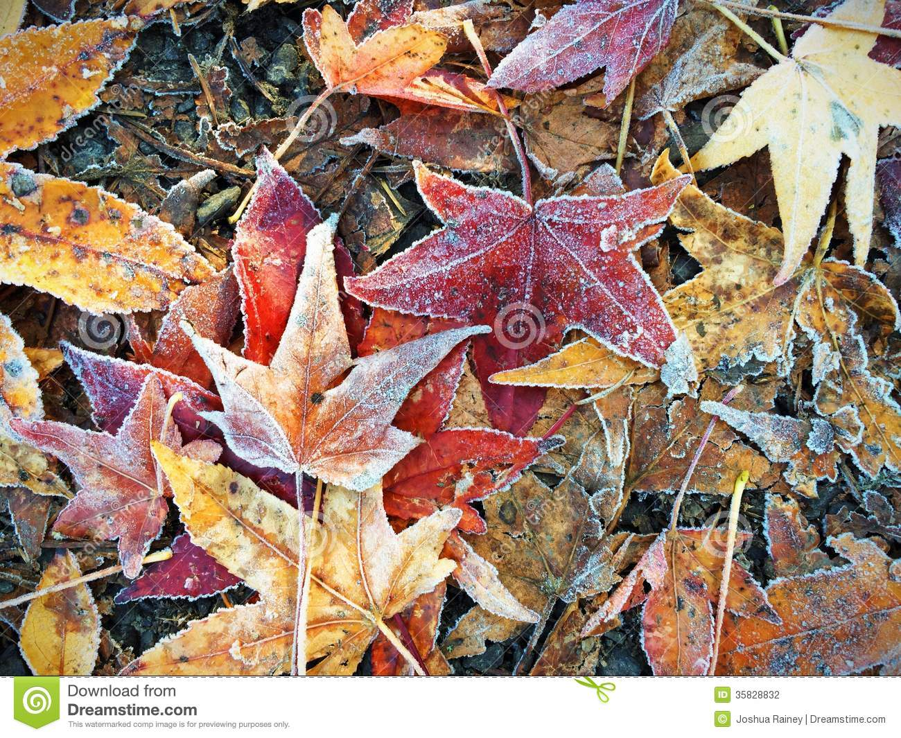 Fall Leaves Wallpaper Windows 7 Fall Autumn Leaves On Ground In Winter With Frost Stock