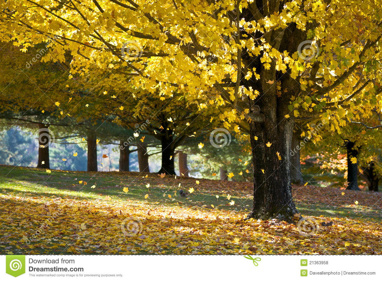 Upstate New York Fall Hd Wallpaper Fall Foliage Yellow Maple Leaves From Autumn Tree Stock