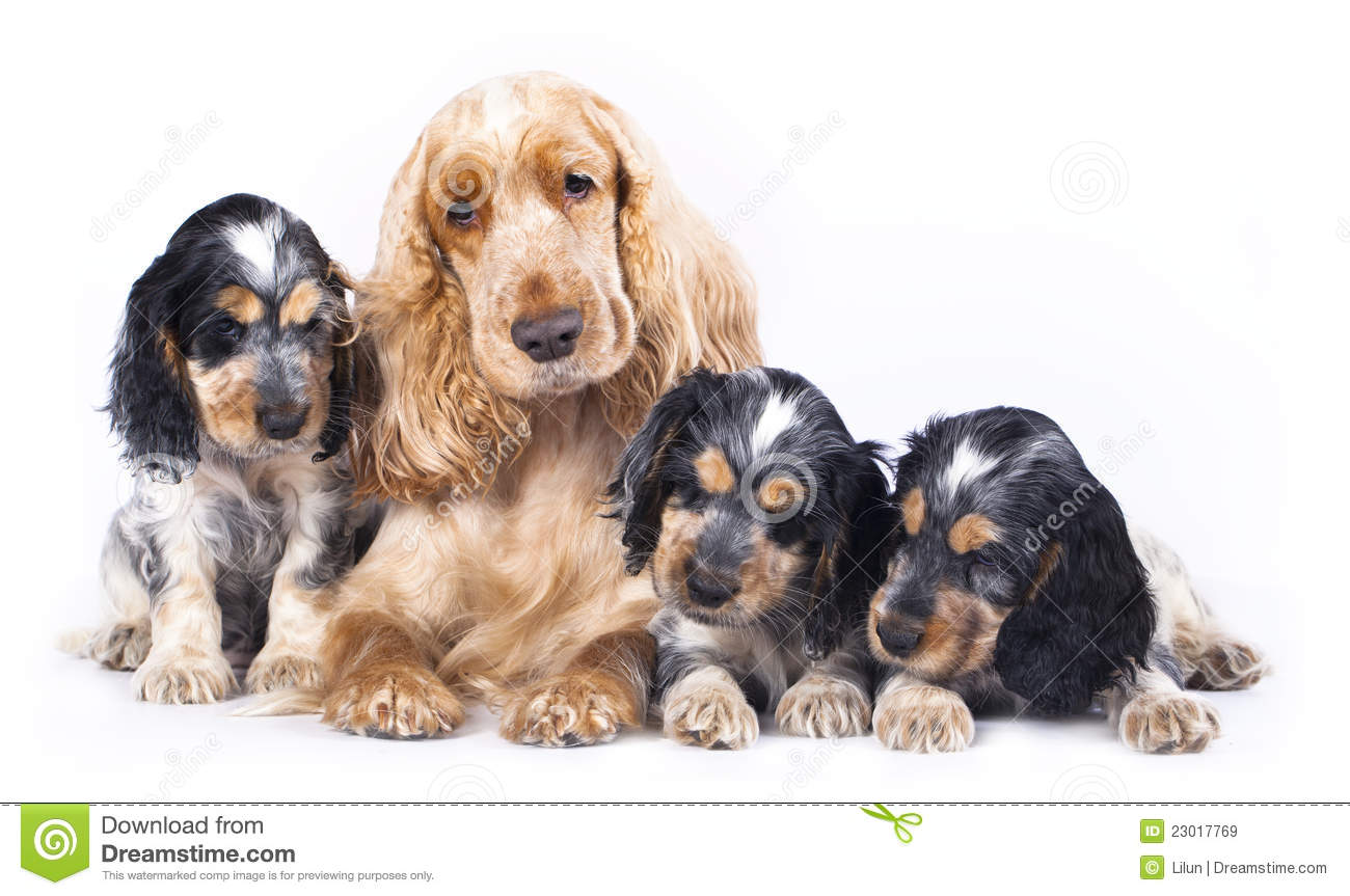 Cute Little Puppies Wallpapers Family English Cocker Spaniel Dogs Royalty Free Stock