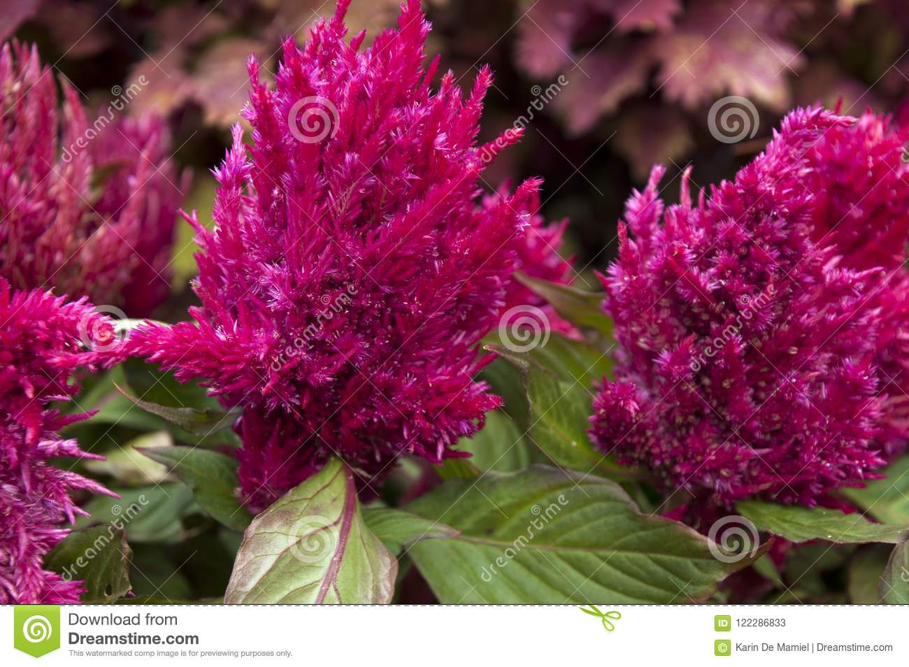 Pink Flowers Australia Feather Celosia Plant With Bright Pink Flowers Stock Image Image