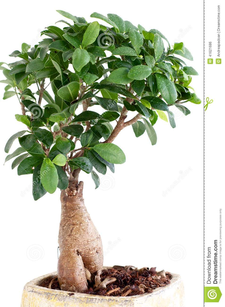 Ficus Ginseng Bonsai Ficus Ginseng Stock Photo Image Of Ficus Leaf Flower 41621686
