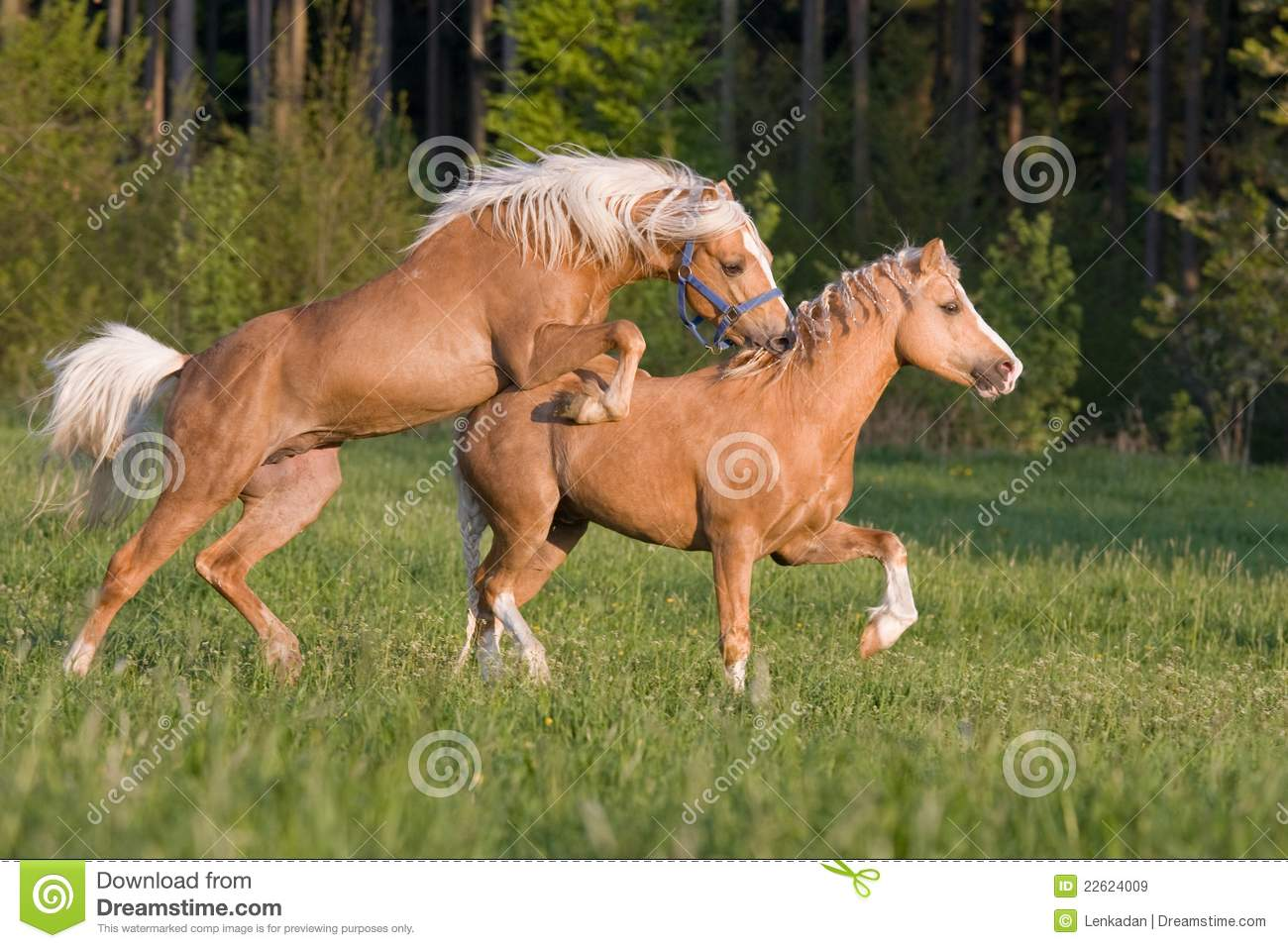 Animal Farm Wallpaper Fight Of Two Stallions Royalty Free Stock Images Image