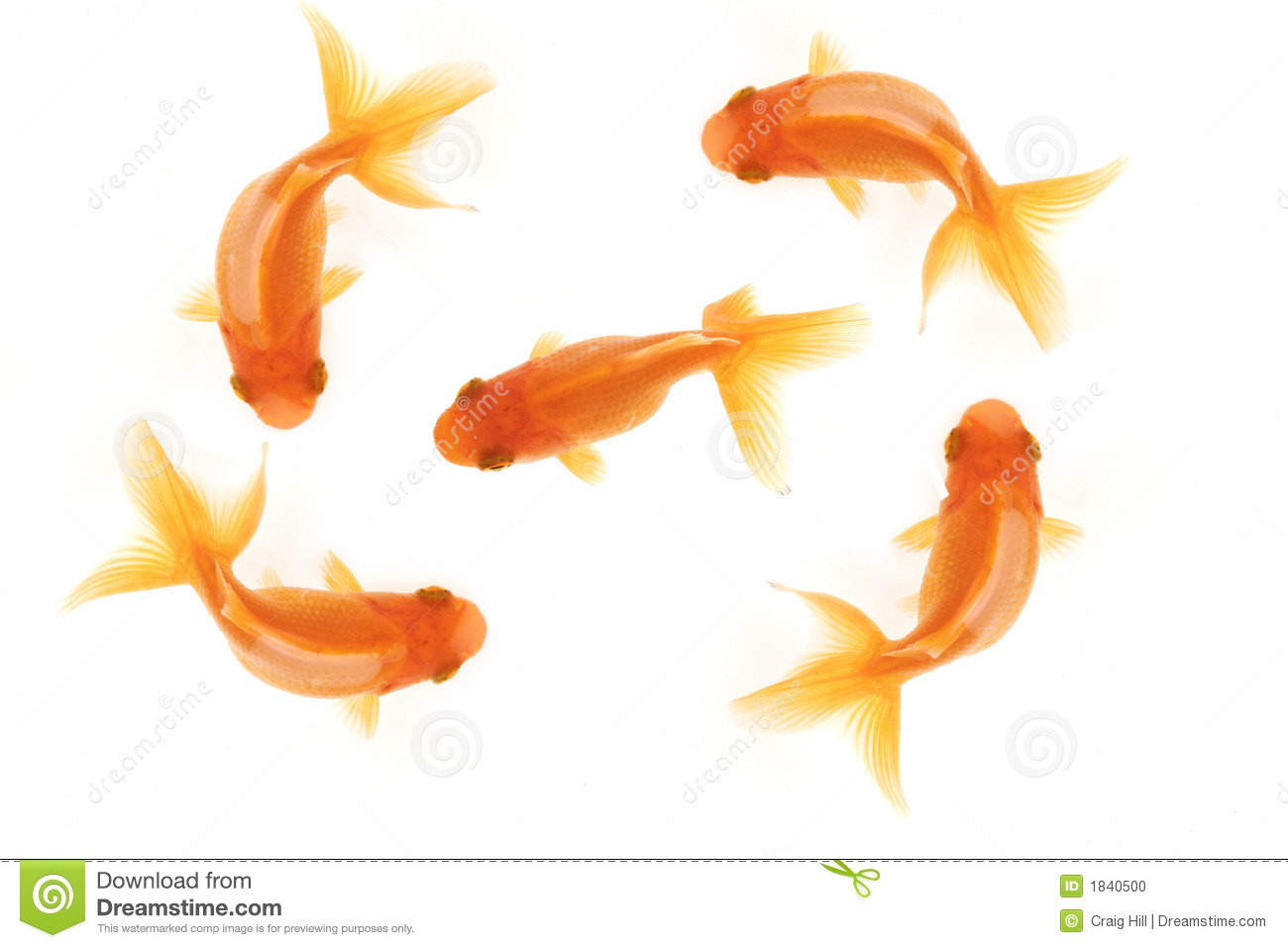 Cute Fish Wallpaper Hd Five Goldfish Stock Photo Image 1840500