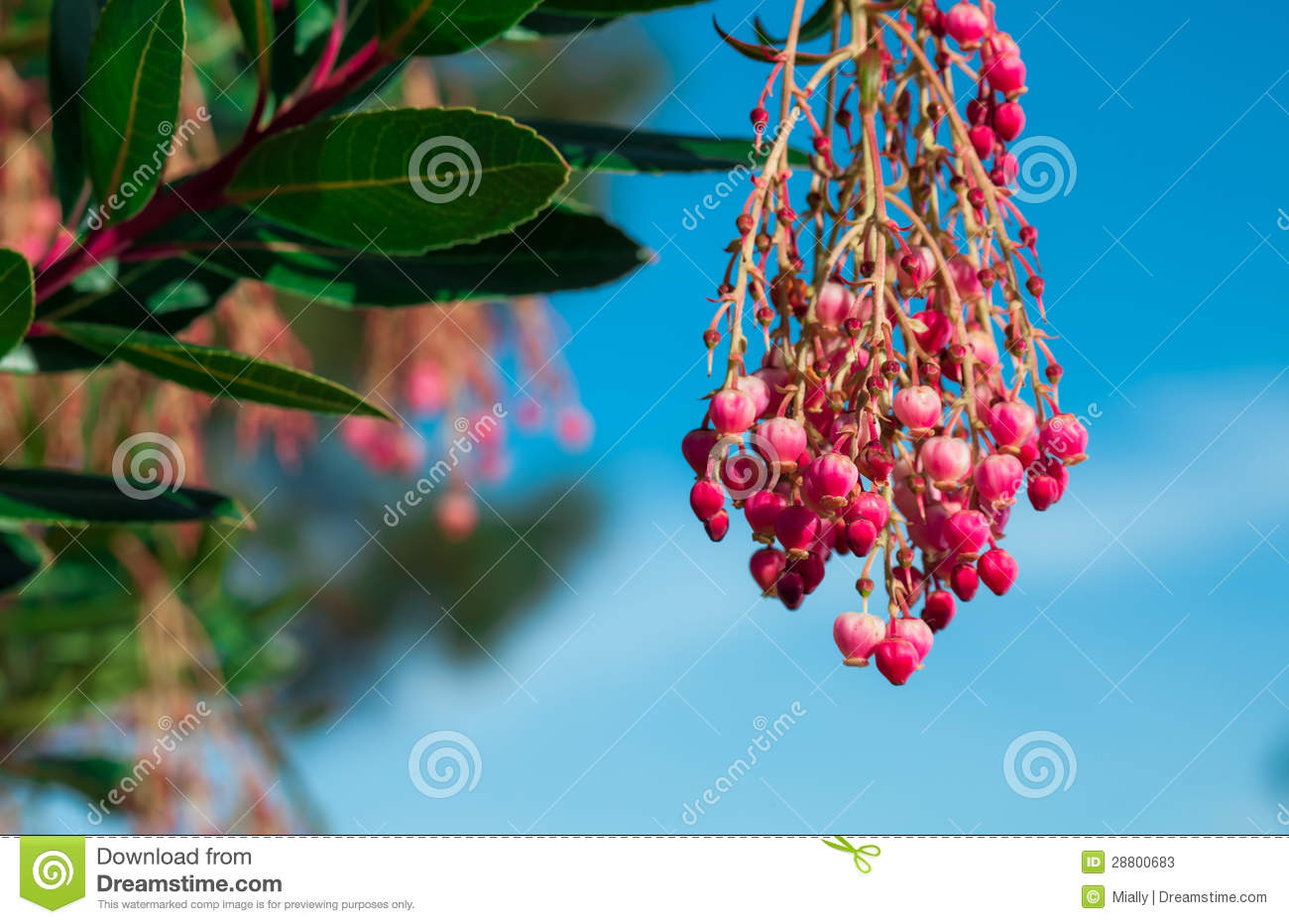 Arbre Fruitier Fleur Rose Fleur D 39arbre Fruitier De Yumberry Photos Stock Image