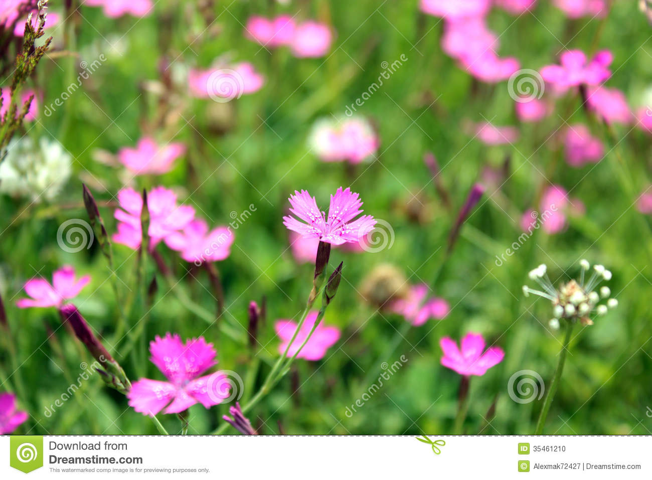Birthday Background Pink Flower Of Red Wild Carnation Stock Photo - Image: 35461210