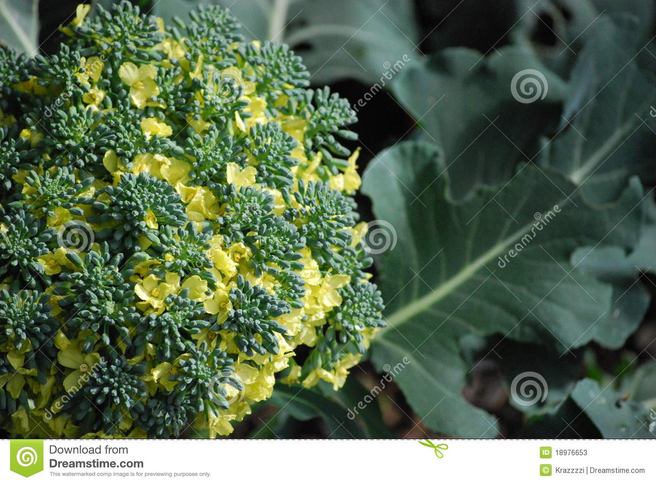 Broccoli Flower Flowering Broccoli Stock Image. Image Of Vegetable, Leaf
