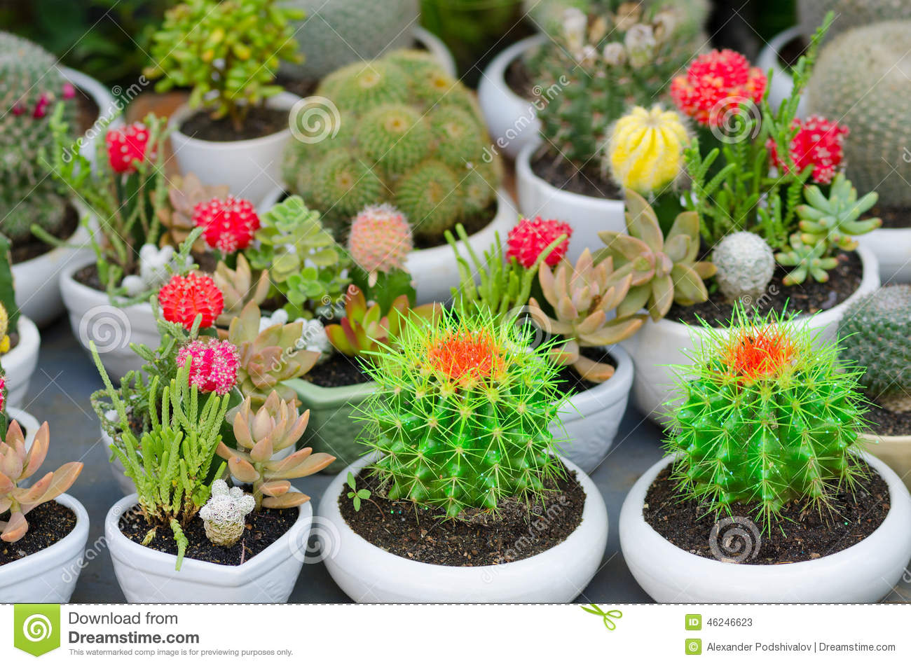 Cactus Pots For Sale Flowering Cacti In Pots Stock Photo Image 46246623