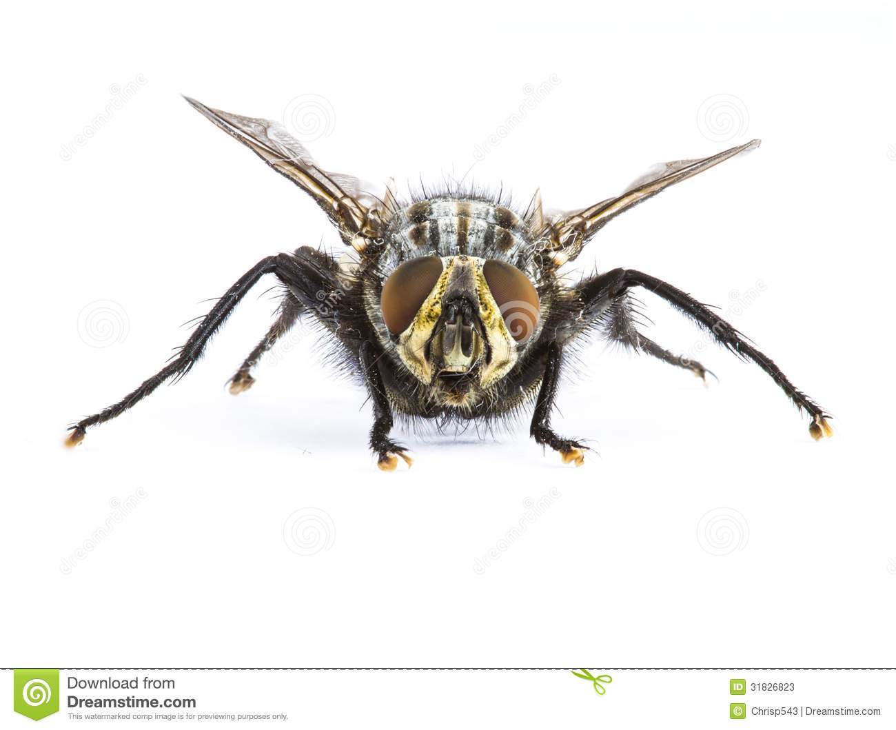 Lit Chez Fly Fly Facing Camera Stock Image Image Of Disease Grey 31826823