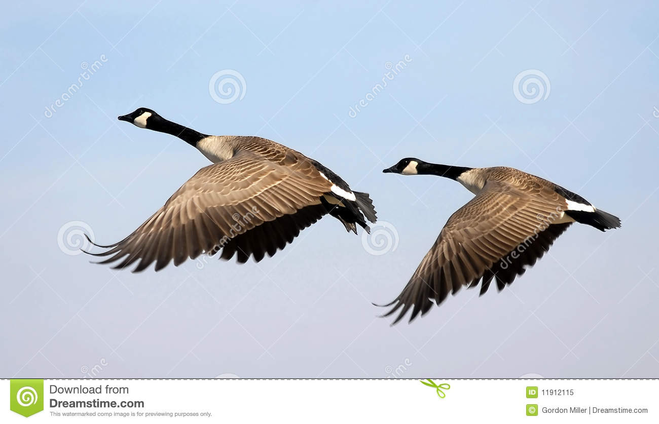 Fall Ceiling Wallpaper Download Flying Canada Geese Stock Image Image Of Bill Departure