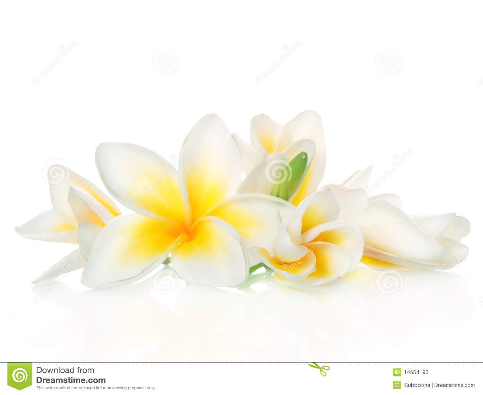 Beautiful flowers frangipani isolated spa