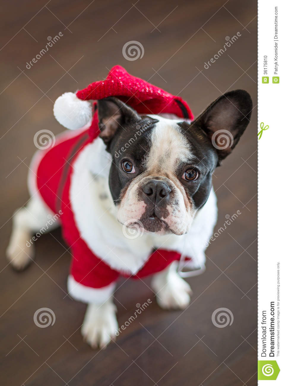 December Wallpaper Cute French Bulldog In Santa Costume For Christmas Stock Photo