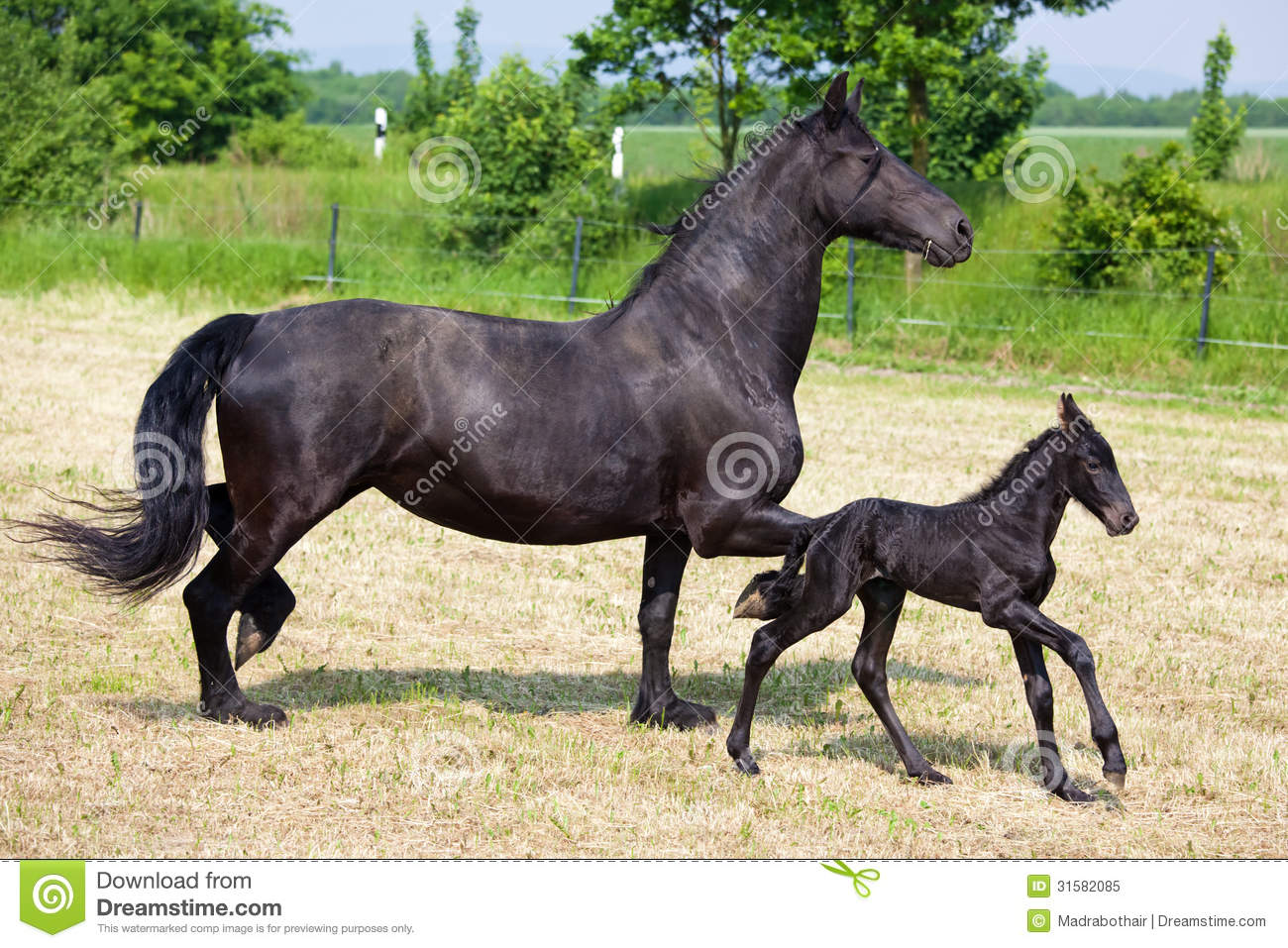Cute Horse Wallpapers Friesian Foal And Mother On The Field Stock Image Image