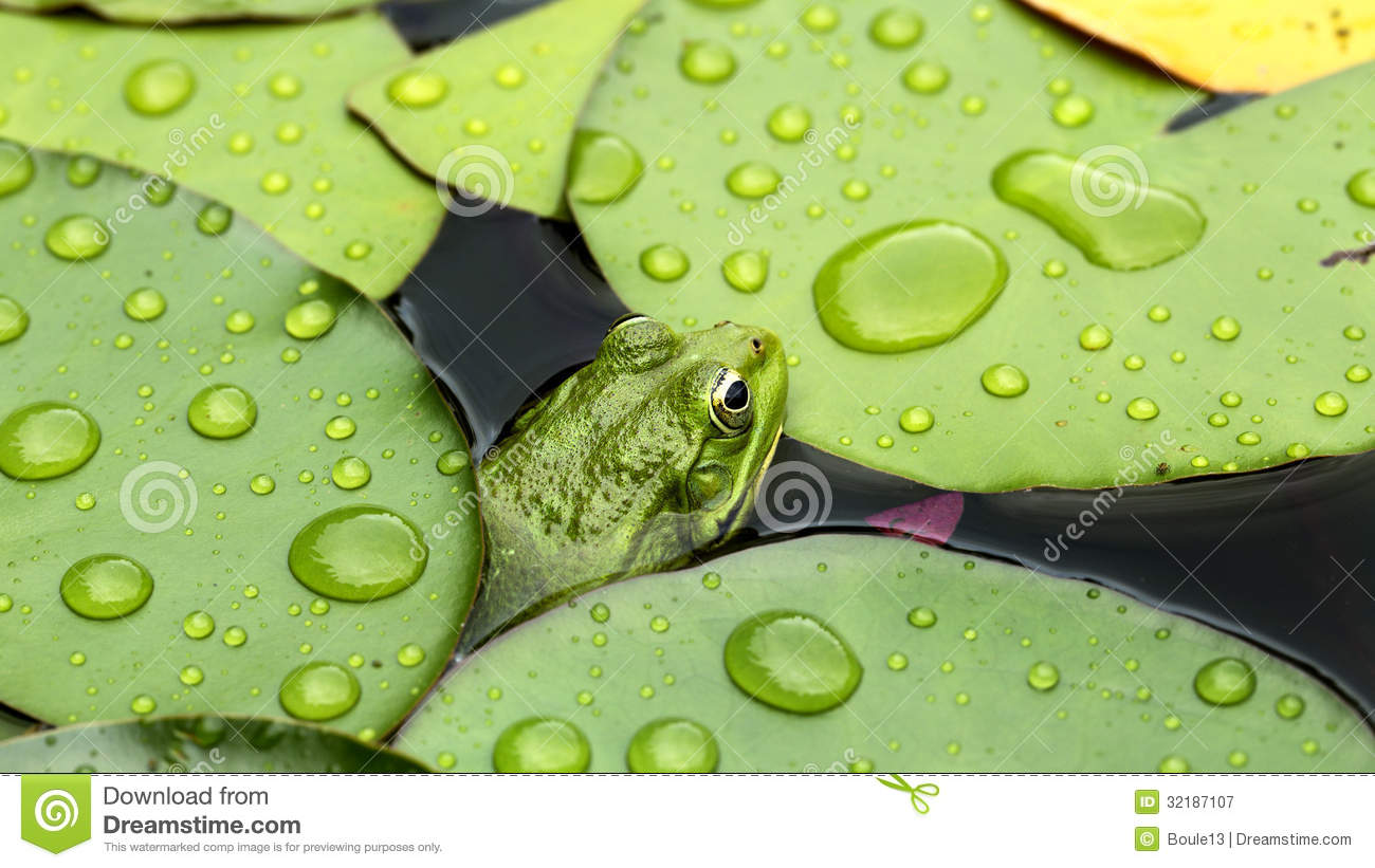3d Roof Wallpaper Frog On Lily Pad Royalty Free Stock Photography Image