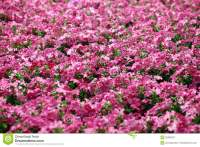 Garden Of Beautiful Pink Flowers Royalty Free Stock ...