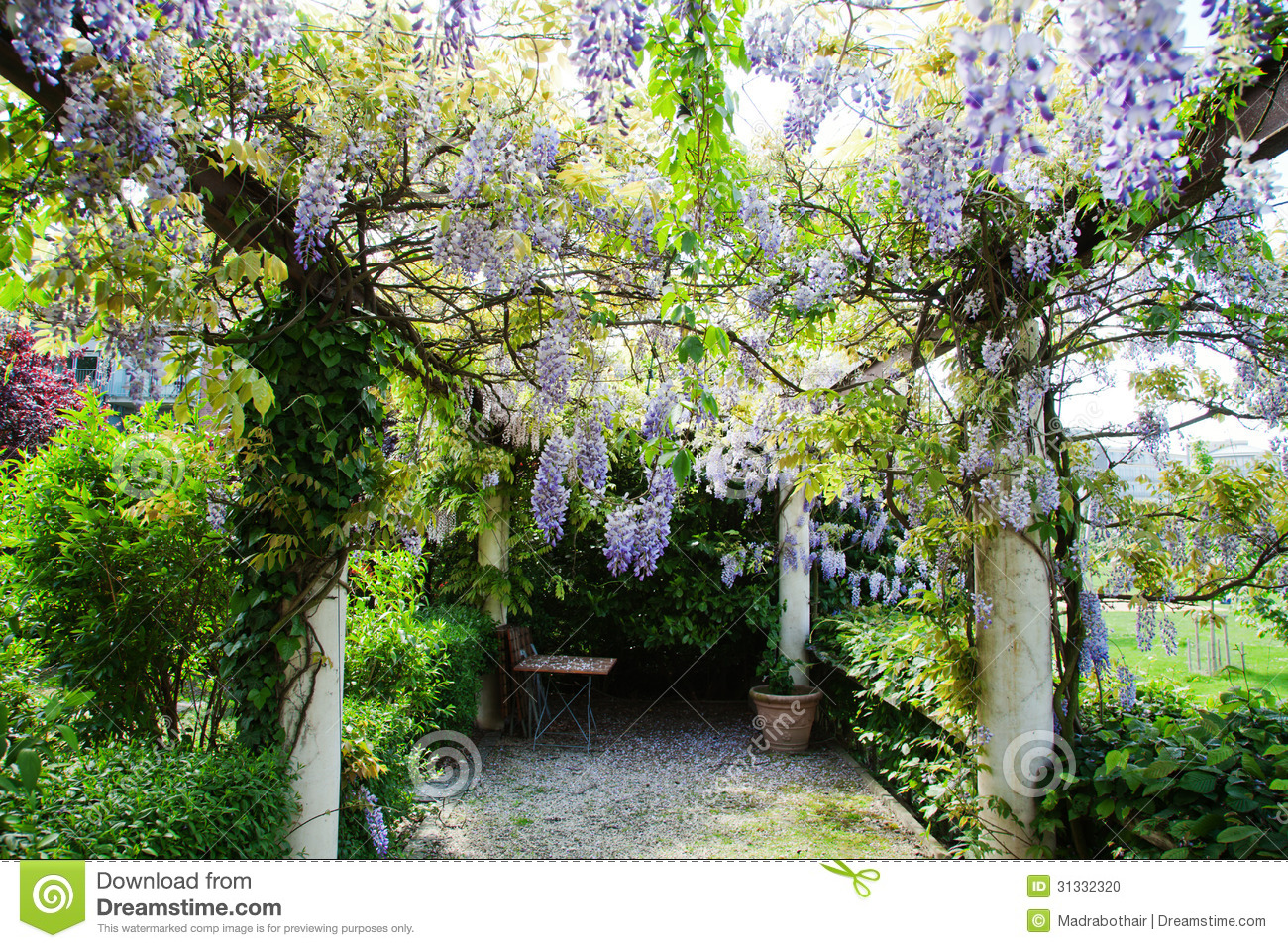 Pergola Glycine Garden Pergola With Chinese Wisteria Stock Photo Image