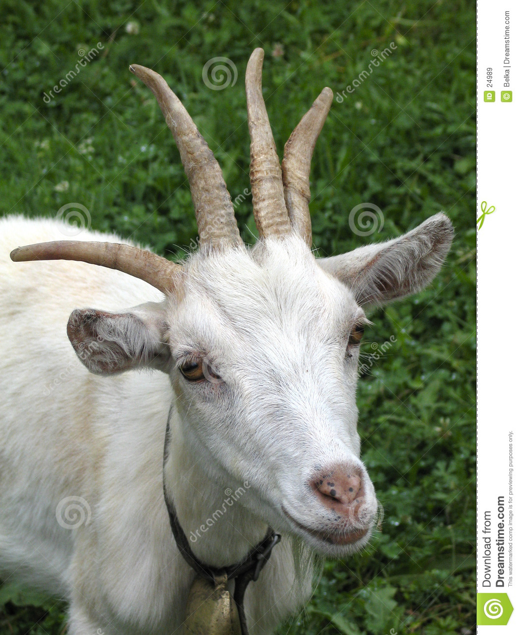 Wild Forest 3d Wallpaper Goat With Four Horns Royalty Free Stock Images Image 24989