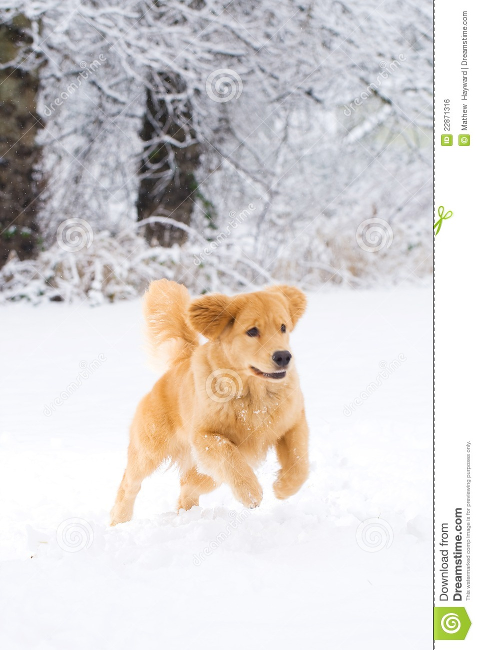 Free Fall Puppy Wallpaper Golden Retriever Dog Playing In The Snow Royalty Free