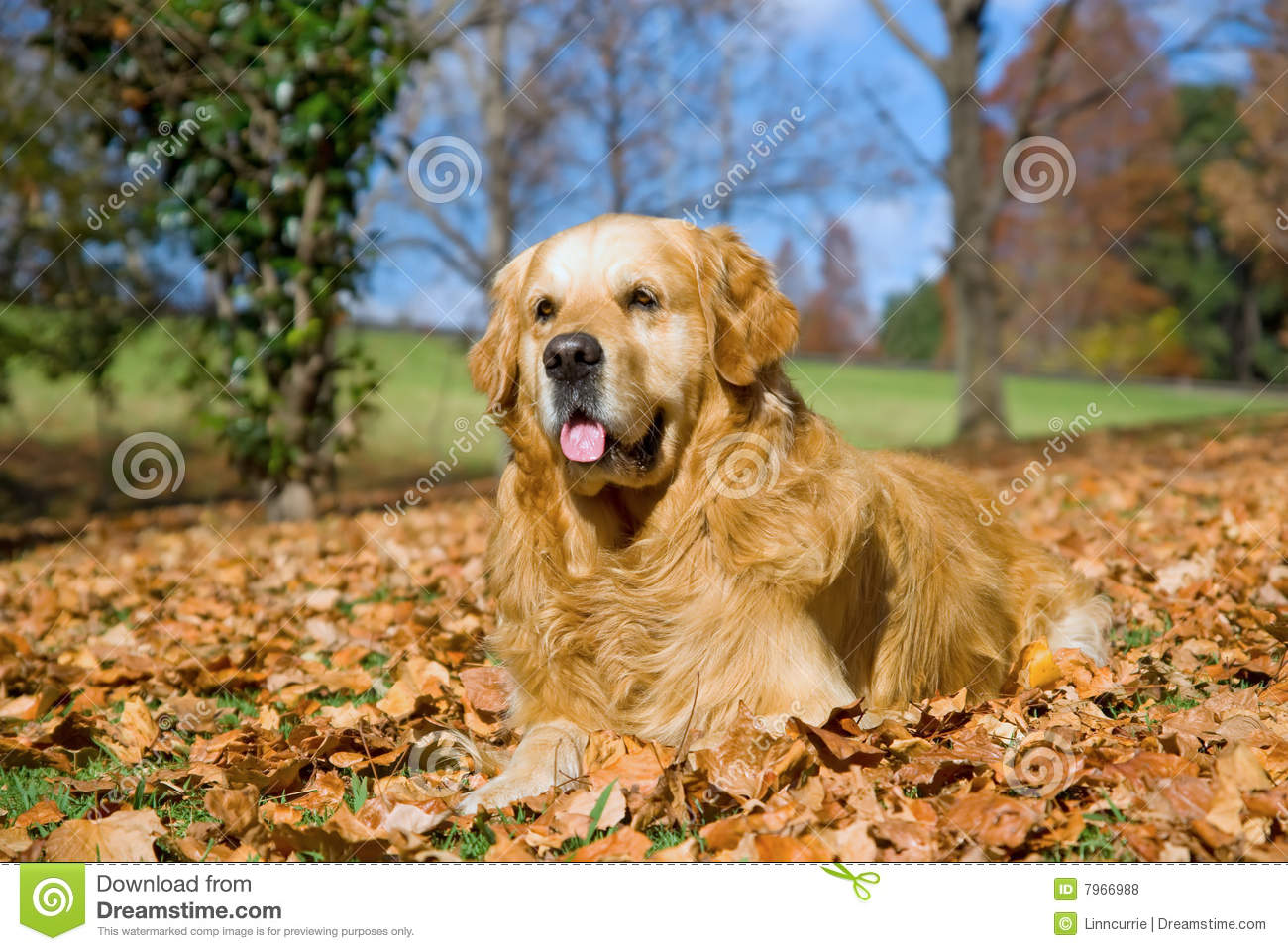 Cute Kid Wallpapers Free Download Golden Retriever Gr Adult Dog Outdoors Royalty Free Stock