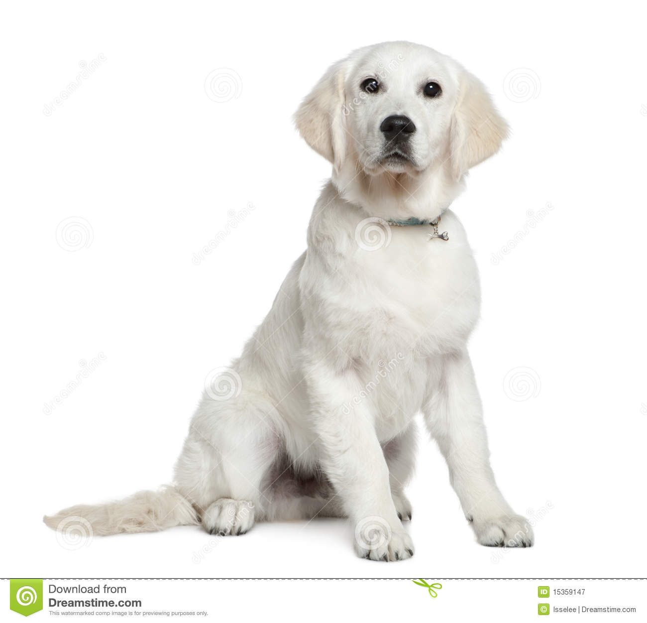 Labrador 4 Meses Golden Retriever Puppy, 5 Months Old, Sitting Stock Image