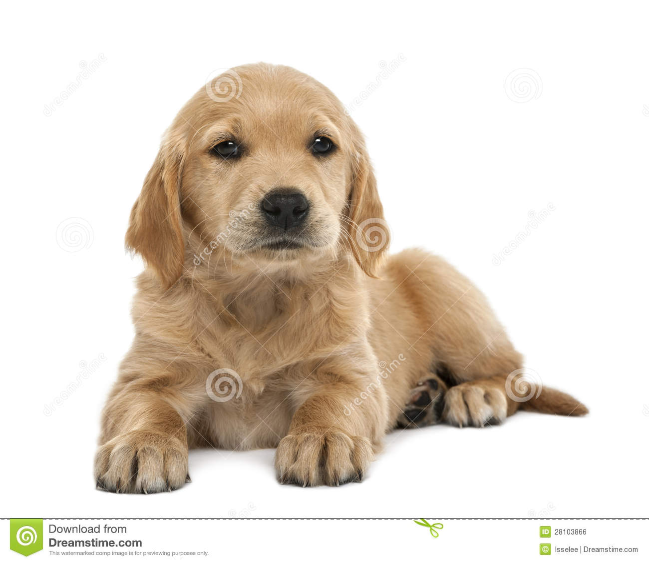 Golden Retriever 2 Meses Golden Retriever Puppy 7 Weeks Old Lying Stock Photo Image Of