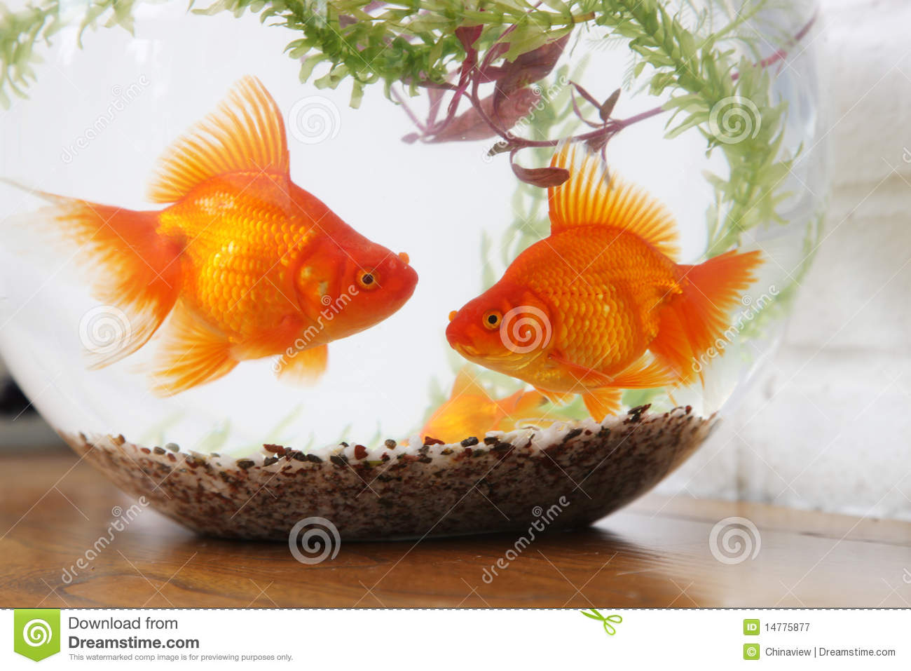 Coral Fish 3d Live Wallpaper Goldfish In Fish Tank Close Up Royalty Free Stock