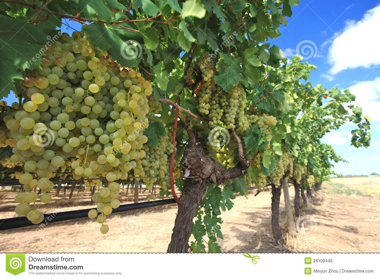 Wine Prices Australia Grapes In Wine Yard Stock Photo Image Of Farming