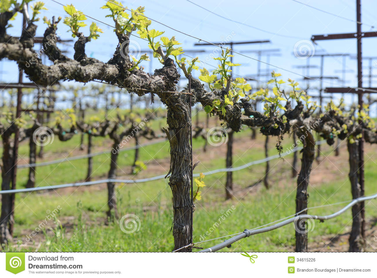 Snoeien Druif Grapevine In Spring Stock Photo Image Of Vinifera Vitis
