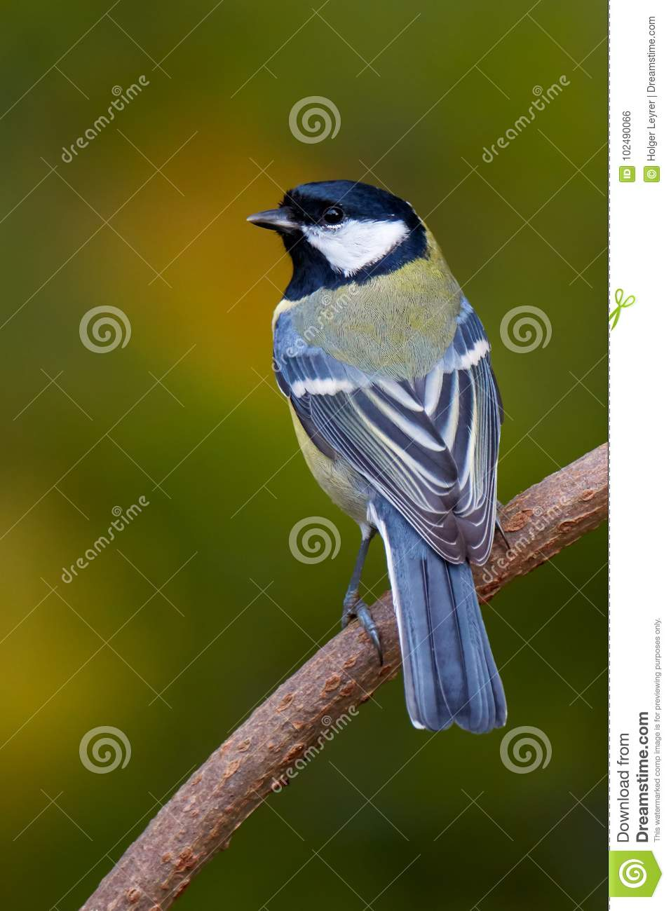 Kohlmeise Winter Great Tit Kohlmeise Parus Major Stock Photo Image Of Singvoegel