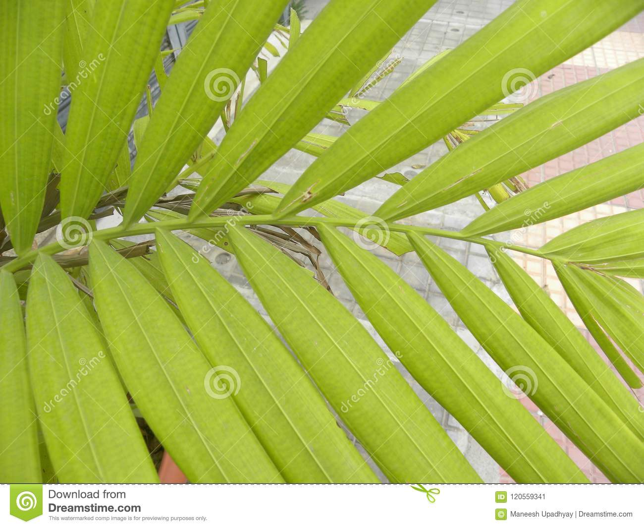 Green Color Leaves Of Areca Palm Plant Stock Image Image Of Environment Environmental 120559341