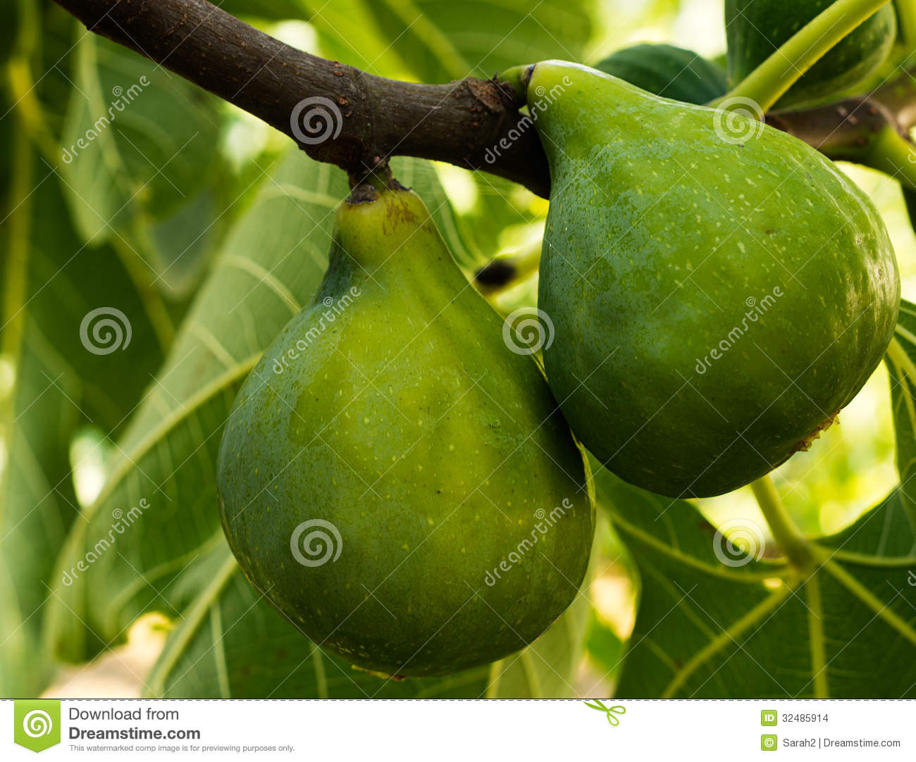 Avocat Arbre Green Figs Fruit On Tree Stock Images Image 32485914