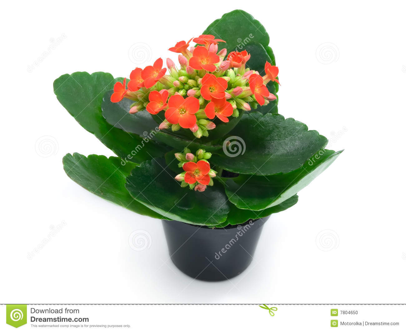 Small Household Plants Green Houseplants With Red Flowers Stock Photo Image
