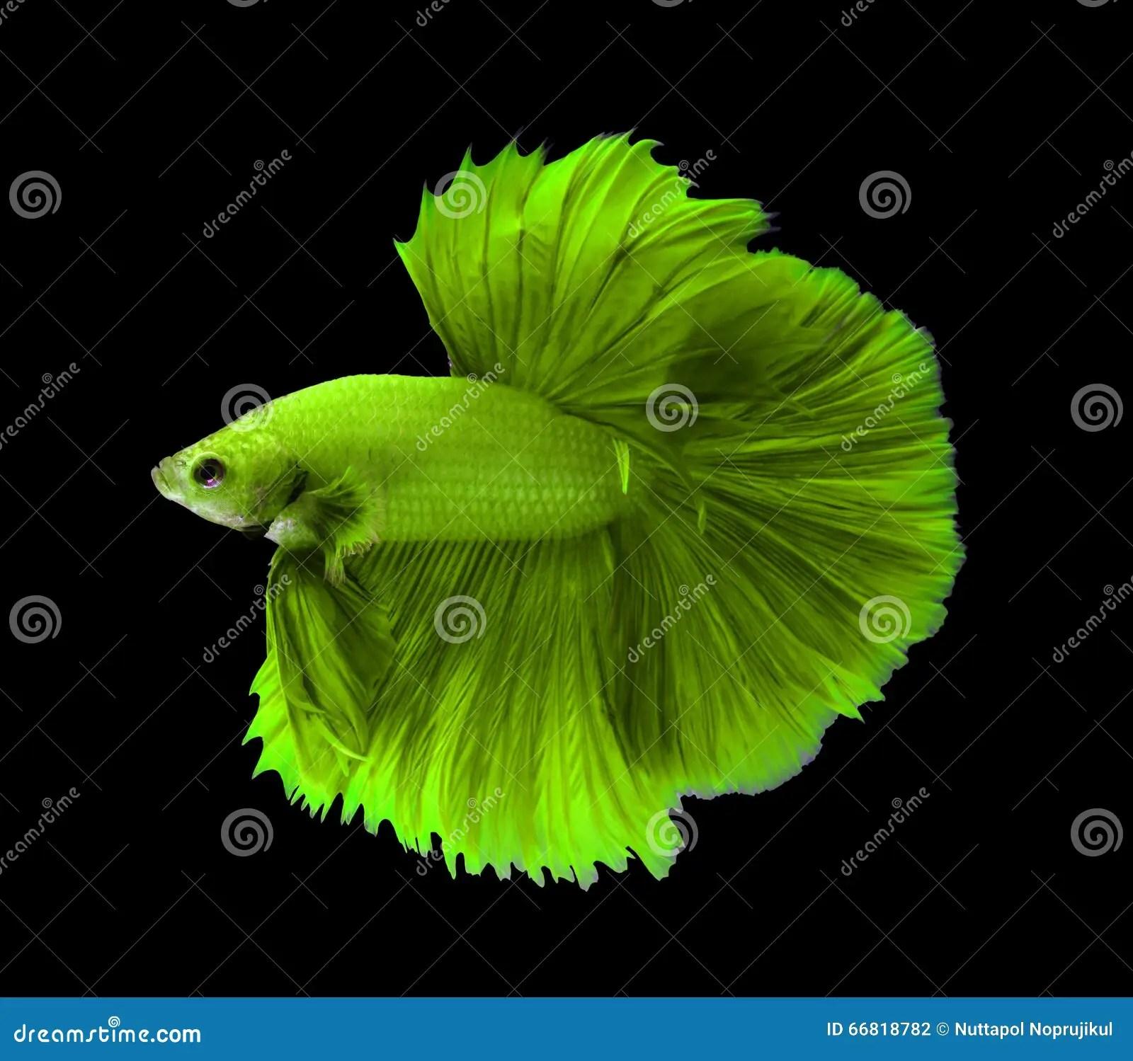 Fighter Fish Hd Wallpaper Download Green Siamese Fighting Fish Halfmoon Betta Fish Isolated