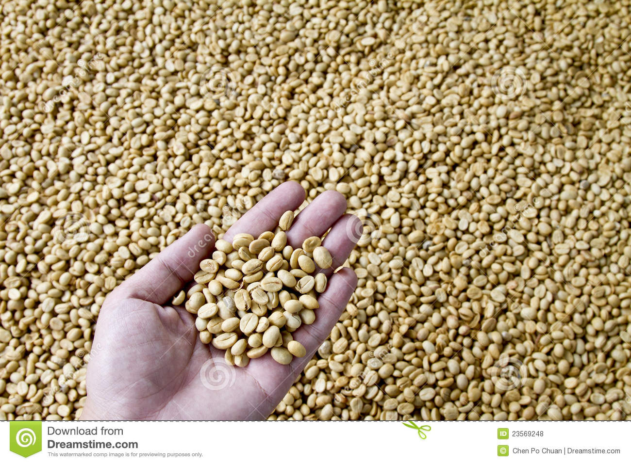 Unroasted Organic Arabica Coffee Beans Green Unroasted Coffee Beans In My Hand Royalty Free Stock