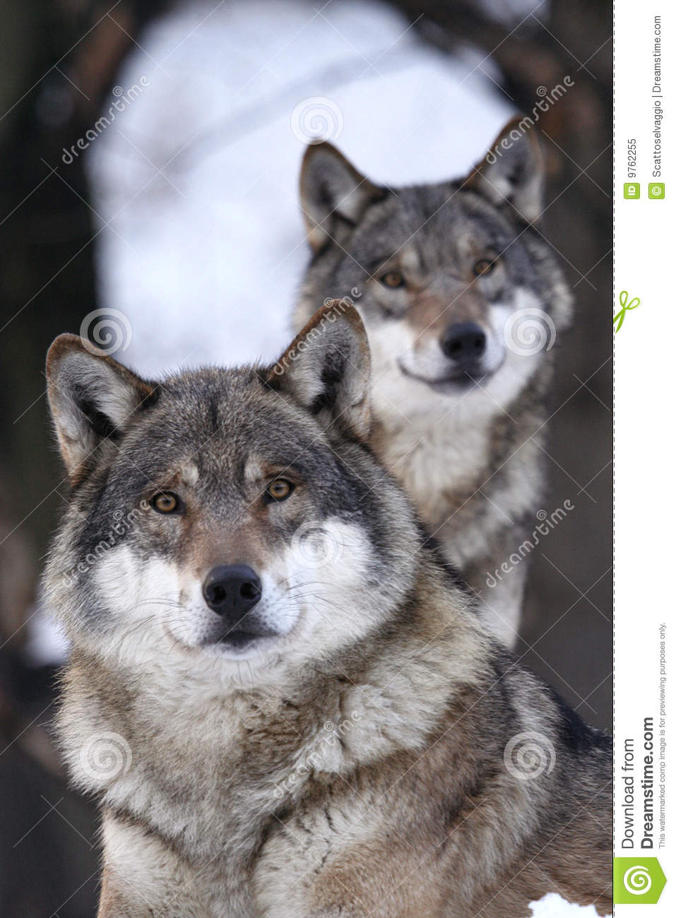 Black And Gray Wallpaper Grey Wolf Canis Lupus Royalty Free Stock Photo Image