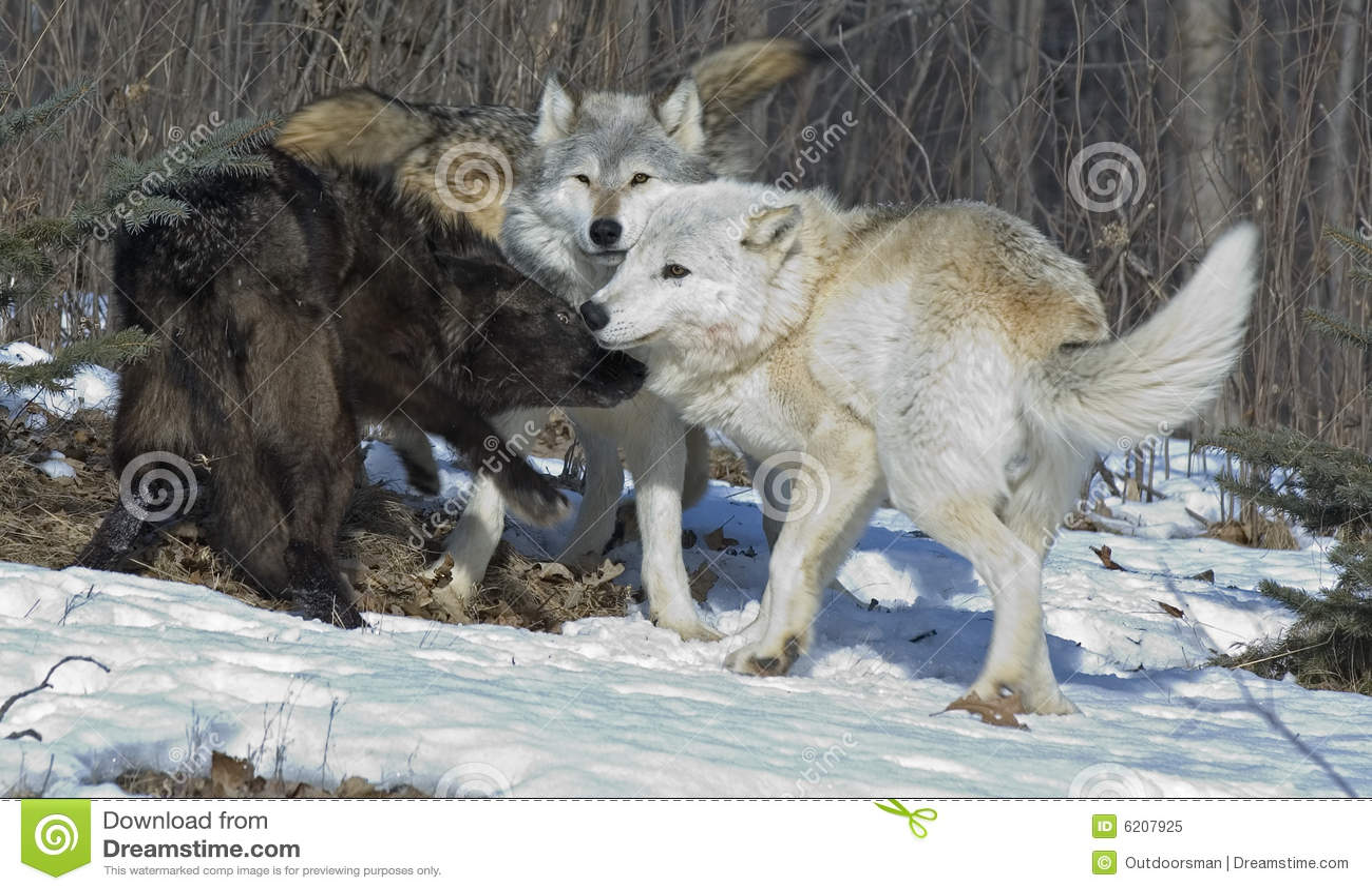 Animal Pak Wallpaper Grijze Wolven Stock Afbeelding Afbeelding Bestaande Uit