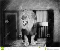 Growling Lion In A Living Room Stock Photo