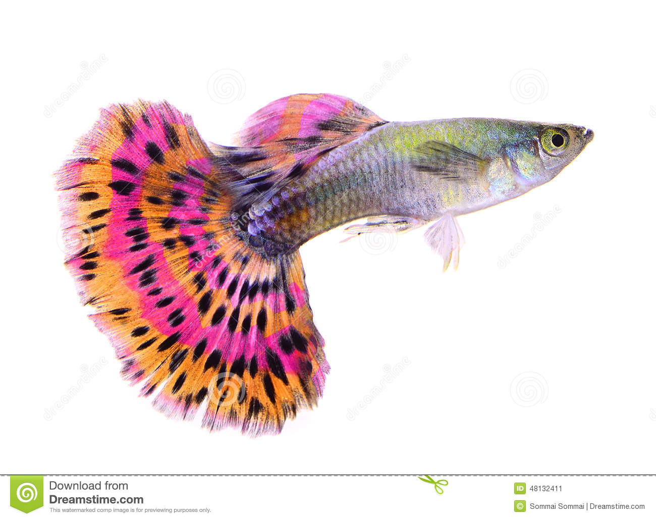Red Animal Print Wallpaper Guppy Fish On White Background Stock Image Image Of