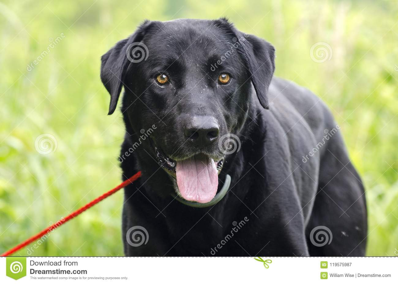 Black Lab Dog Male Happy Black Labrador Retriever Dog With Panting Tongue