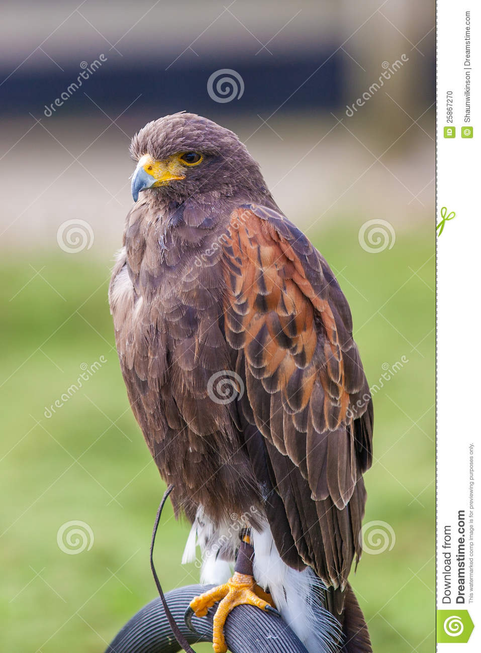 Hunting With Shot Harris Hawk Full Body Stock Photo. Image Of Hawk, Shot