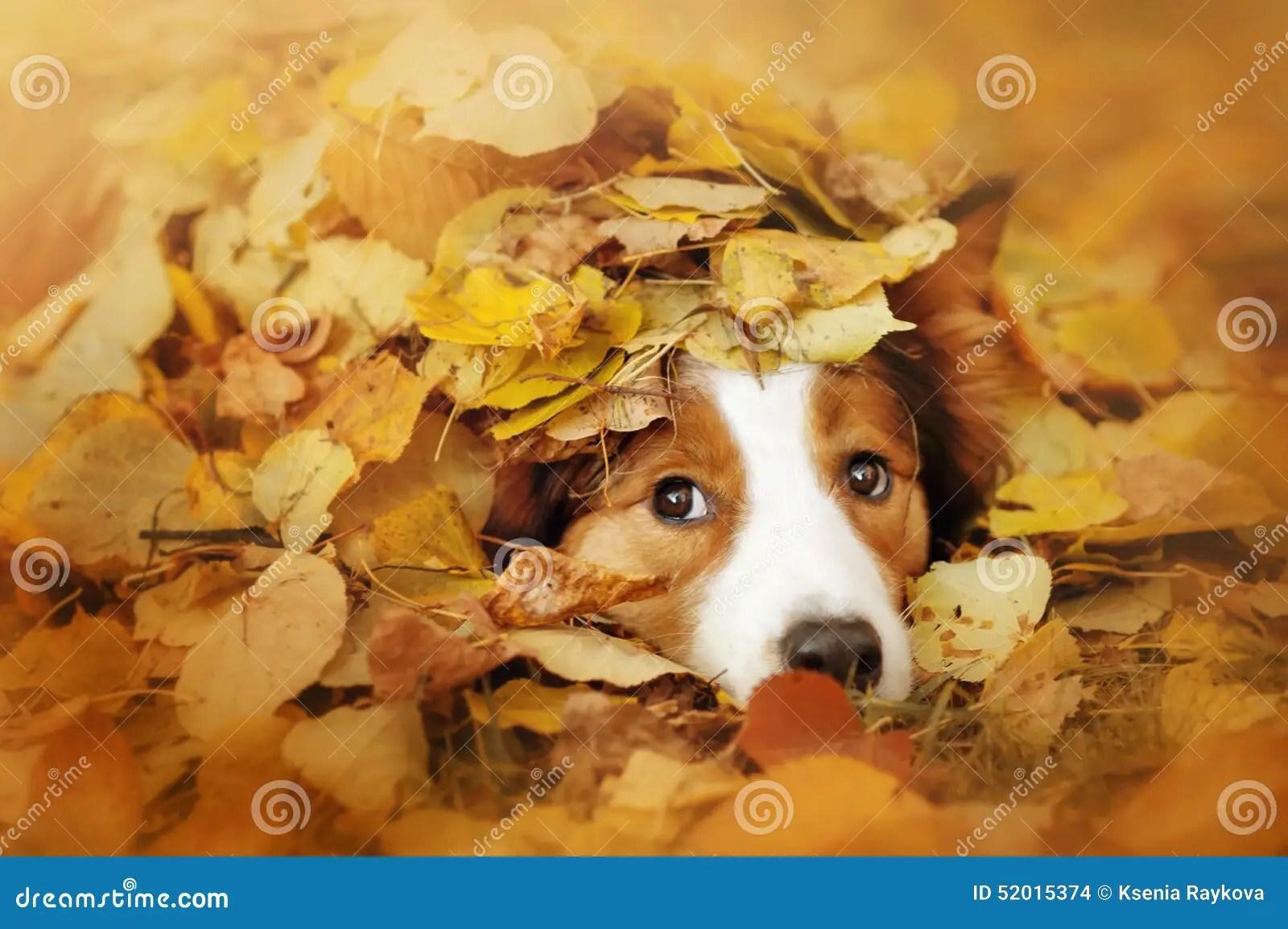 Puppies In Fall Wallpaper Het Jonge Border Collie Hond Spelen Met Bladeren In De